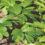 Planta japoneză care stimulează sănătatea celulară și prelungește viața