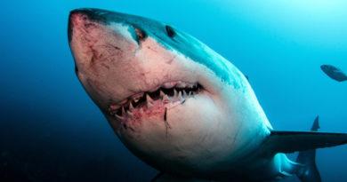 O specie de rechin poate ajuta medicii să trateze cancerul