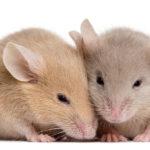 Studiul pe șoareci care a arătat că afinele, vinul roșu, strugurii și arahidele ajută la scăderea tensiunii arteriale